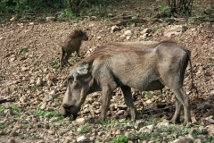 Warthog with cub | Awash National Park