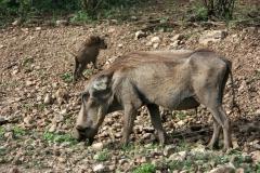 Warthog with cub | Warzenschwein mit Jungtier | Awash National Park