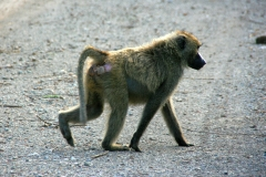 Olive baboon | Anubispavian | Awash National Park