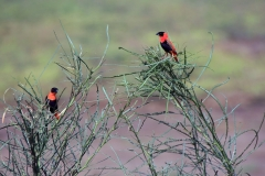 Northern red bishop | Lake Basaka