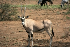Oryx | Oryxantilope | Awash National Park