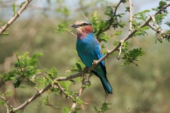 Blue-breasted roller | Awash National Park