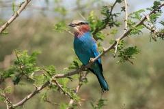 Blue-breasted roller | Gabelracke | Awash National Park
