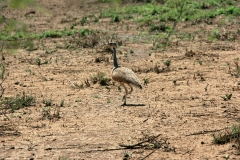 Senegal Bustard | Awash National Park