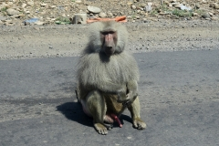 Olive baboon | south-west of Dire Dawa