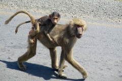 Olive baboon mother with cub | south-west of Dire Dawa