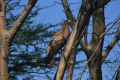 Eagle | Adler | Abijata Shalla Lakes National Park