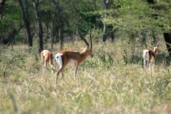 Grant's gazelles | Grant-Gazellen | Abijata Shalla Lakes National Park