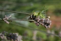 Grasshoper on lavender