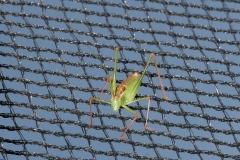Grasshoper in net