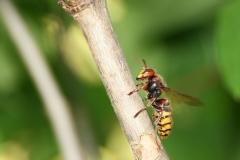 Climbing hornet