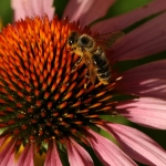 Bee on Echinacea
