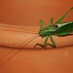 Grasshoper | Wachauer Heuschrecke