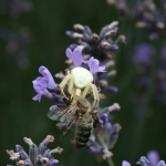 Crab spider with prey