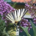Scarce swallowtail | Segelfalter