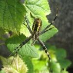 Wasp spider | Wesenspinne