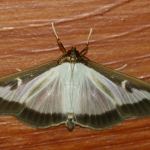 Box tree moth (Cydalima perspectalis)